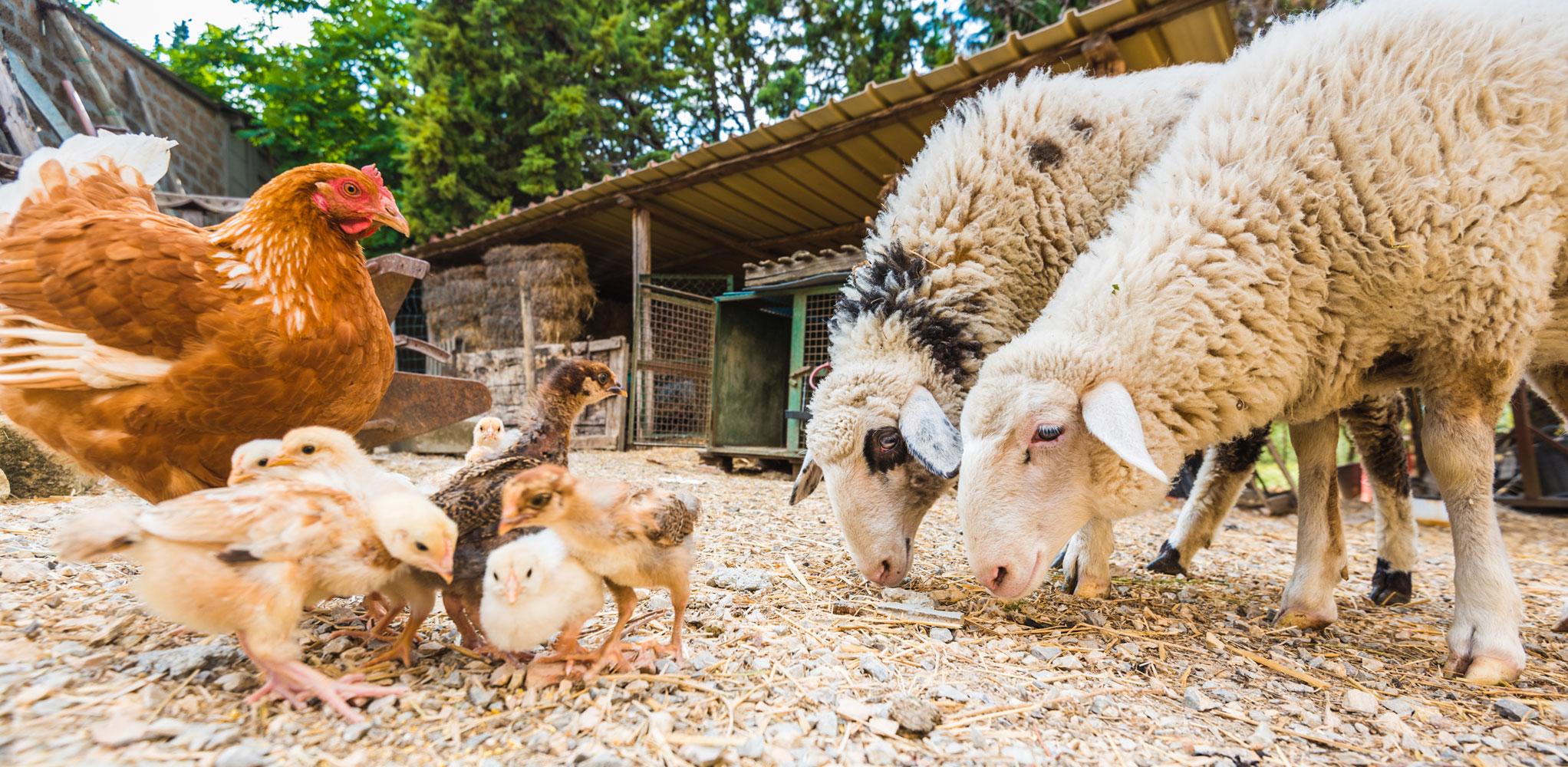 gallina-pecore